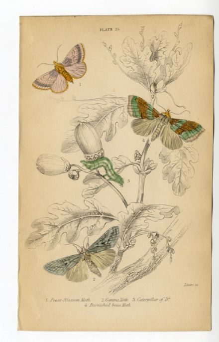 1836 MOTHS JARDINES Antique Print PEASE BLOSSOM Gamma BURNISHED BRASS Caterpillar ENGRAVED by William Lizars  HAND COLOUR